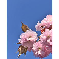 Himmel-Blüte IMG_5102_q